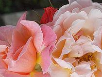 'Soft Pink Rose Blossom ~ by bebra' von bebra