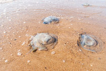 Large  jellyfish lies on the shore of a beach. by Serhii Zhukovskyi