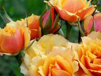 Yellow and Orange Roses  by bebra