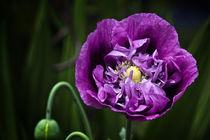 Purplepoppy