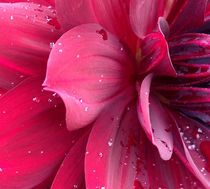 Dramatic Dahlias by Ruth Baker
