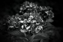Hortensienblüten schwarzweiss von leddermann
