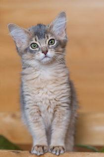 Somali Kitten / 7 von Heidi Bollich