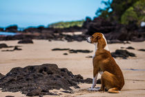 Fijian Dog on the beach by Belinda Philipp