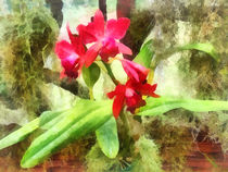 Maroon Cattleya Orchids by Susan Savad