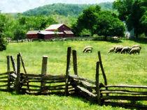 Sheep Grazing in Pasture by Susan Savad