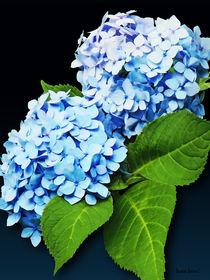 Sig-bluehydrangeaprofile