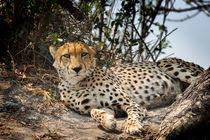 Alert Cheetah von Graham Prentice
