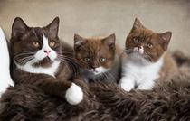 Dsc-7246-dot-t-bkh-kittens3-10-15