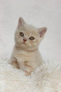 Britisch Kurzhaar Kitten / 50 von Heidi Bollich