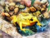 Gft-panamaniangoldenfrog