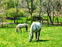 Two White Horses Grazing by Susan Savad