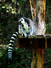 Ring-Tailed Lemur by Susan Savad