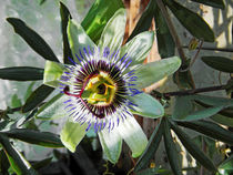 Passion Flower Close-up by Rod Johnson