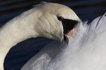 Hid-swan