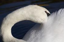 Swan-shyne