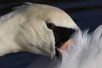 Swan-close-up