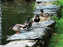 Ducks on Ledge by Pond by Susan Savad