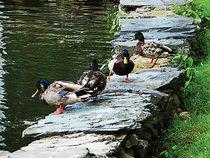 Fa-ducksbythepond