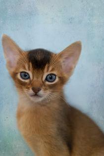 Abessinier Kitten / 18 von Heidi Bollich