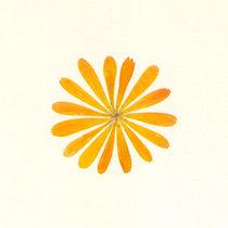Ringelblume-groesser