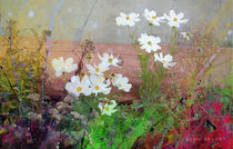 White Cosmos by Kume Bryant