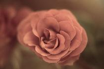 Eine einzelne Rose von oben Vintage Look