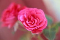 Eine einzelne Rose von oben Orginal pink
