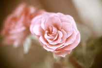 Eine einzelne Rose von oben Pastell
