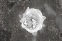 Eine einzelne Rose von oben sketch