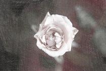 Eine einzelne Rose von oben sketch1