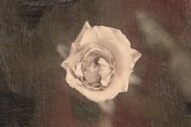 A single rose from above von Peter-André Sobota