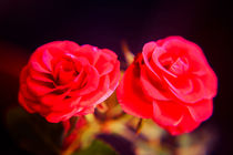A pair of roses in oil on dark background