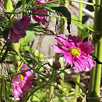 Pink Cosmos by Kume Bryant