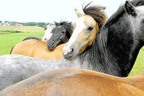 Pferdeherde by cavallo-magazin