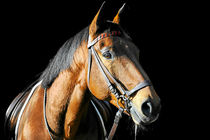 Warmblut Wallach von cavallo-magazin