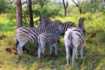 Gruppe Zebras in freier Wildnis Südafrikas  by Marita Zacharias