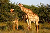 Giraffe Mutter und Kind im Safaripark Südafrika by Marita Zacharias