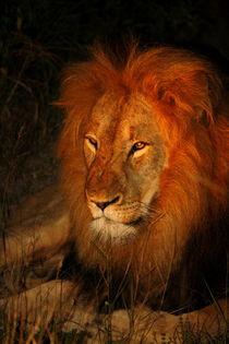 Löwe in freier Wildnis bei Nacht in Südafrika von Marita Zacharias