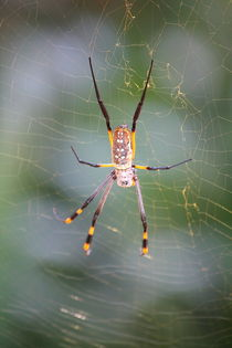 Silk spider Nephila - Seidenspinne by Marita Zacharias