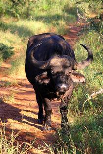 Wilder Büffel im Krüger Nationalpark, Südafrika von Marita Zacharias