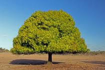 Mango Tree von Christian Hallweger