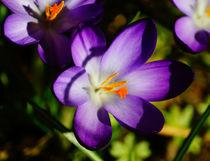 Blauer Krokus im Frühlingssonnenschein von Sabine Radtke