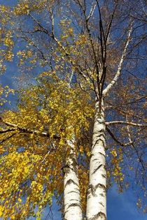 Two-birch-trees-bun