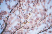 Petzval - Kirschblüten - Hanami von goettlicherfotografieren
