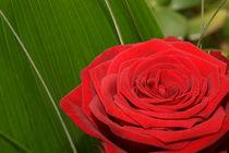 Rose by Mathias Karner