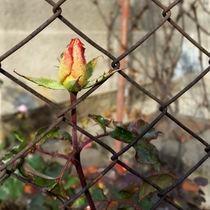 Rosebud-escaping-bun