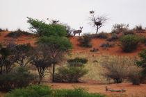Kudu by Rudolf Strasser
