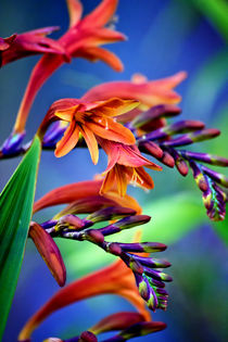 Blooming Crocosmia by Vicki Field