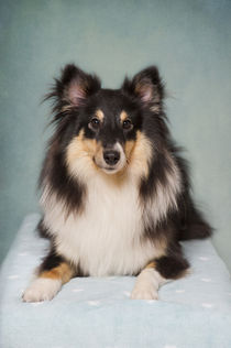Dsc-4127-dot-sheltie2-11-15